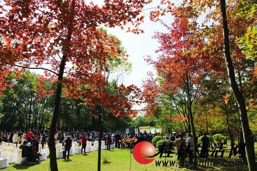 桂林枫叶正慢慢变红 最佳观赏期还要再等半个月